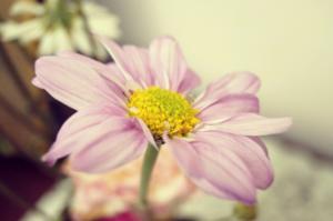Rosafarbene Blume mit einer gelben Blüte